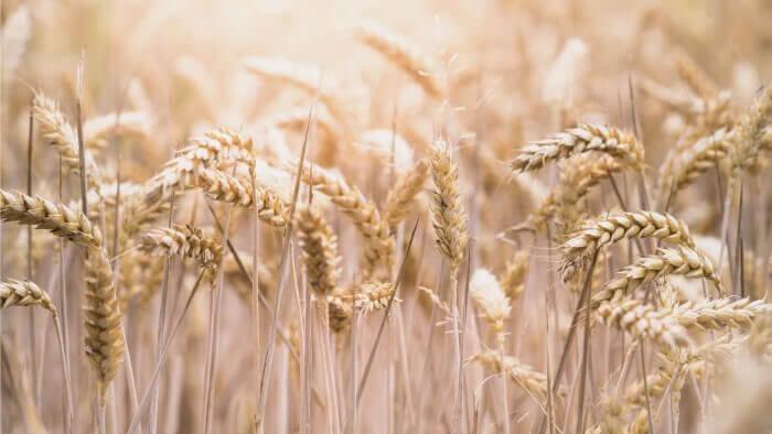 グルテンを含む小麦